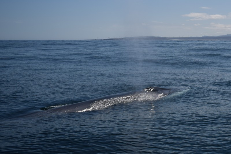 <span style='color:#780948'>ARCHIVED</span> - CaboRorcual project in Denia aims to follow the fin whale as it travels along the Mediterranean coast